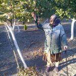 Урожай яблок в саду Бекешевского ОВП
